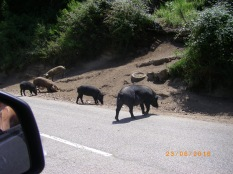 Wild black boar on mountain road in Corsica